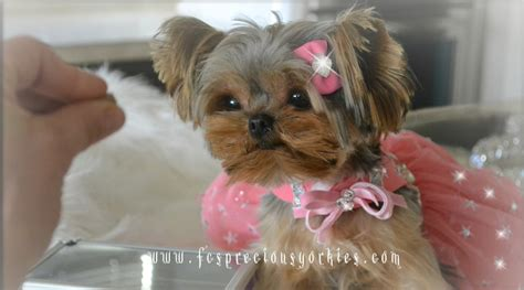 baby doll yorkies teacup yorkie baby doll yorkie puppies for sale teacup yorkie breeds picture