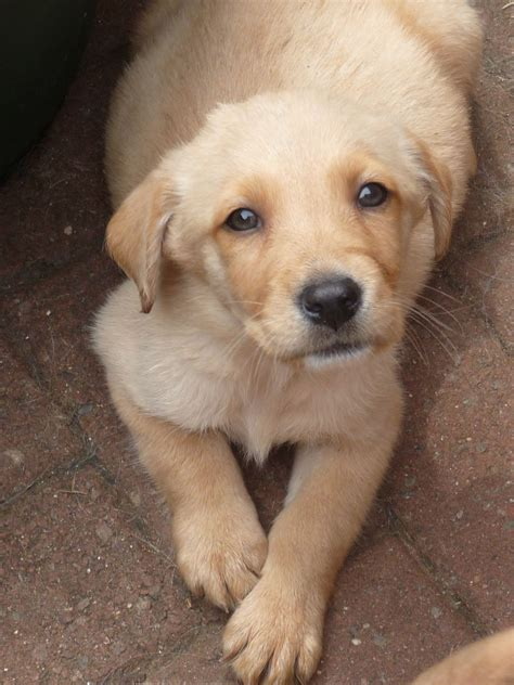 golden labrador puppies for sale golden lab puppy for sale seaham county durham pets4homes