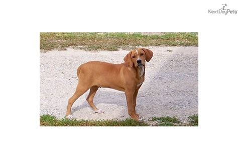 mountain cur puppies for sale near me mountain cur puppy for sale near springfield missouri a4404b10 d141