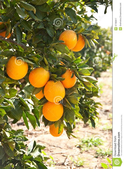 tree ripened fruit orange tree with ripe orange fruit royalty free stock