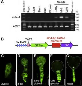 pattern formation in embryogenesis the arabidopsis rwp rk protein rkd4 triggers gene