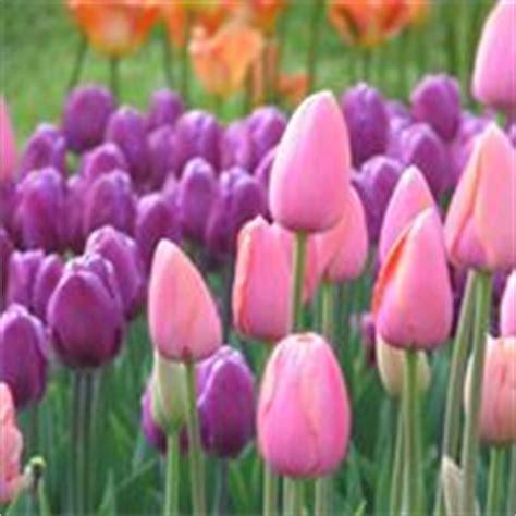 fiore tulipano nero tulipani bulbi caratteristiche dei tulipani