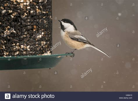black capped chickadee sitting on seed feeder in snowstorm