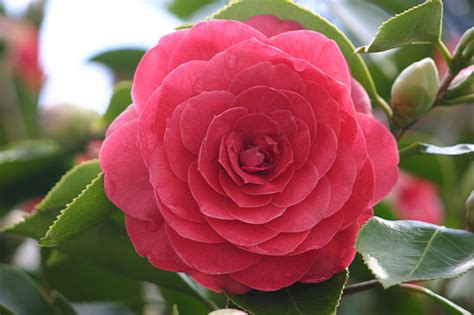 imagenes de flores o rosas im 225 genes de flores y plantas camelia