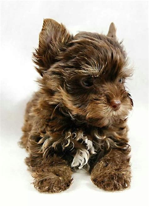 chocolate yorkies alaska chocolate yorkies so beautiful animals