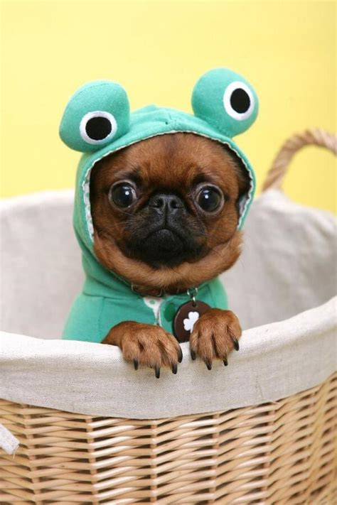 the cutest pug emergency pugs on quot the 15 cutest pug costumes this is