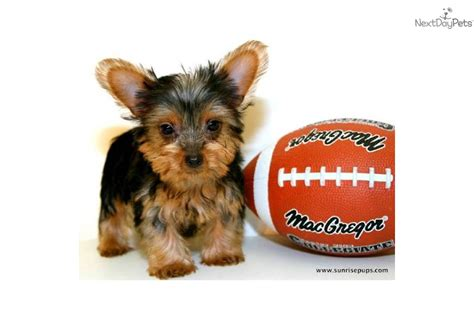 grown yorkie terrier micro teacup is our yorkie puppy for sale affordable breeds picture