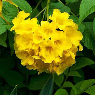buy tecoma stans yellow trumpetbush  kg seeds   nursery   seeds