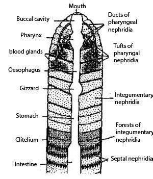 earthworm diagram nephridia excretory system of earthworm kullabs