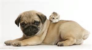 pug puppy roborovski hamster photo wp43435
