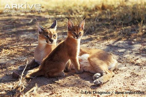 Inidia Cat 44 caracal photo caracal caracal g34281 arkive