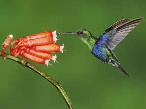 colorful hummingbirds colorful hummingbirds flying wallpaper