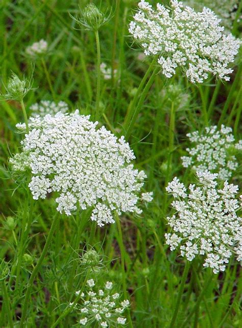 Flat White Flower hogweed look a likes hogweed horticulture aph maine acf