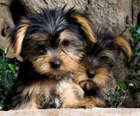 are yorkie dogs hypoallergenic 25 best ideas about hypoallergenic puppies on small hypoallergenic dogs