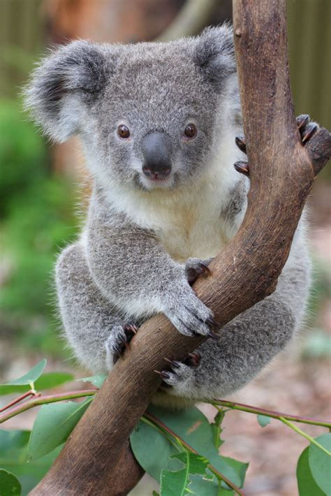 imagenes animales australia koala facts for kids australian animals marsupials