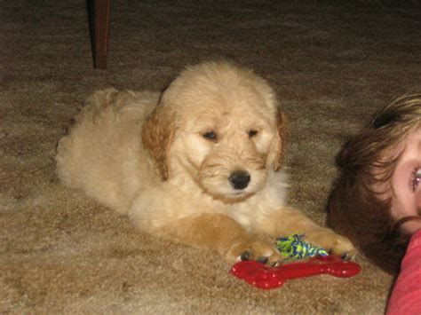goldendoodle puppies for sale canada goldendoodle puppies pups for sale puppies for sale in