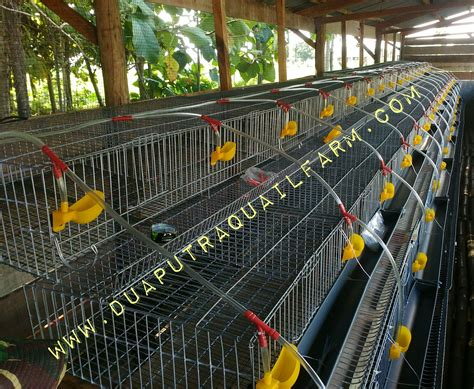 Harga Pakan Burung Puyuh 2017 analisa usaha ternak puyuh skala kecil menggunakan kandang