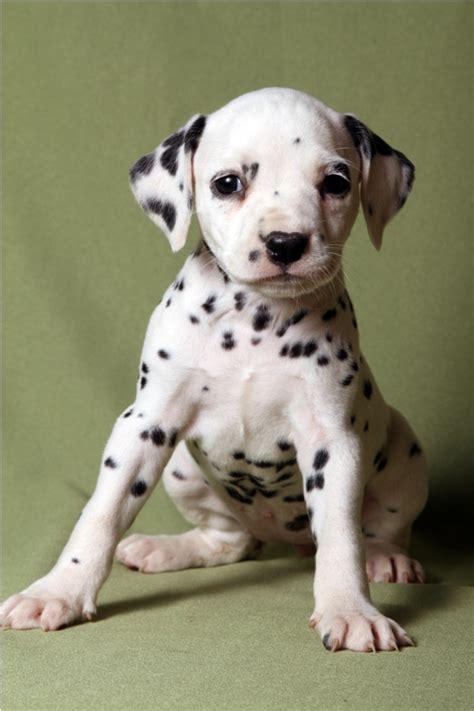 dalmatian puppies for sale az dalmata eu szuka 3 elad 243 dalmata kutya k 246 ly 246 k dalmatian puppies for sale