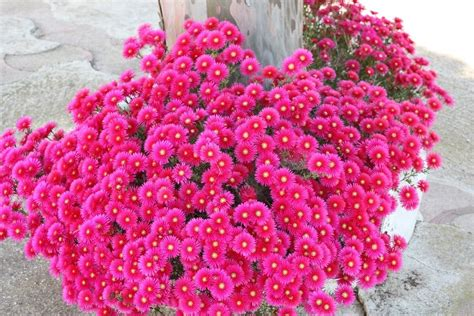 pianta da giardino sempreverdi da giardino piante da giardino sempreverdi
