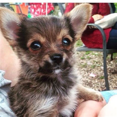 yorkie crossed with chihuahua chihuahua cross yorkie christchurch dorset pets4homes