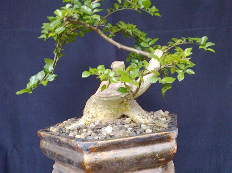 artaprso bonsai serut bakalan