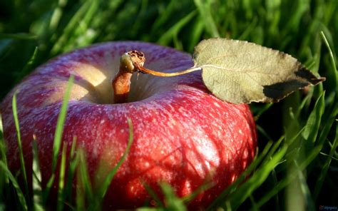wallpaper apple fruit fruit red apple fruit wallpaper desktop hd wallpaper