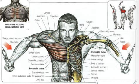 chest diagram muscles bodybuilding cable flyes for chest anatomy