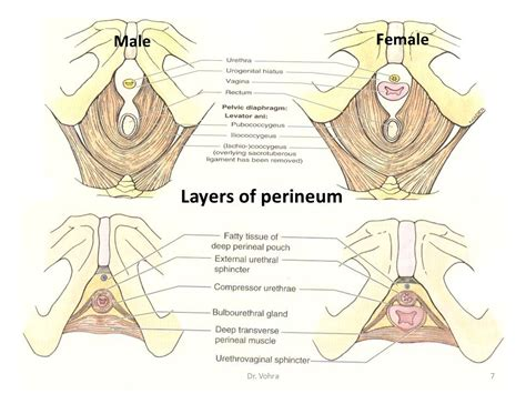diagram of perineum diaphragm location in pancreas location in