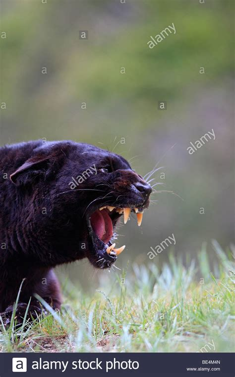 what color is a panther leopard black panther panthera pardus stockfotos leopard