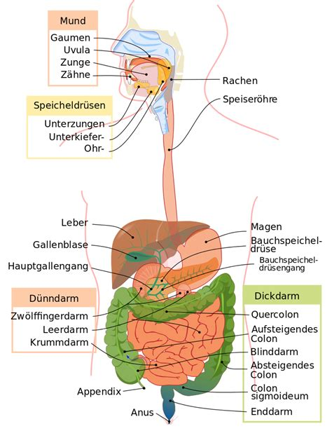 digestive system diagram file digestive system diagram de svg the free