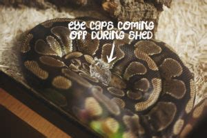 pet python python care snake facts more
