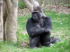 gorillas pictures for eastern gorilla wildlife the wildlife