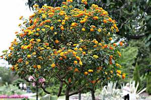 this appears to be a marigold tree i don t know if there is such a thing but that s what it