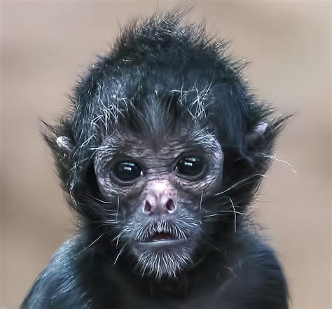 black monkey baby black faced spider monkey as a