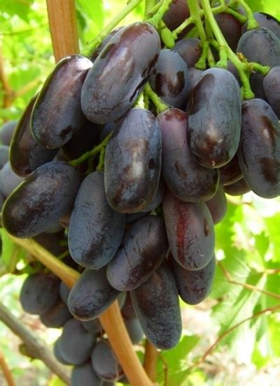 Abon Anggur 1kg Abon Anggur tanaman anggur 15 20 cm bibitbunga