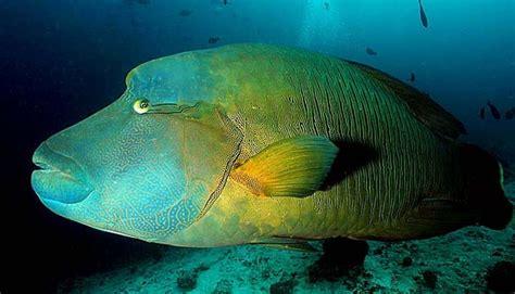 unik  hewan laut   berganti kelamin pettology
