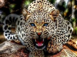 How Can A Jaguar Live Animals Images Leopard Hd Wallpaper And Background Photos