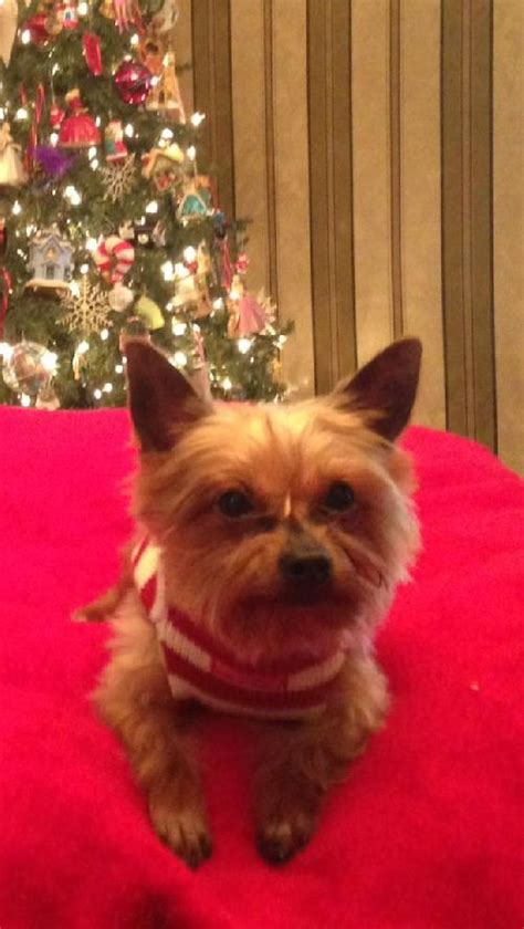 yorkie rescue 911 bailey boy s web page