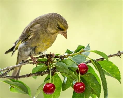 keep birds fruit trees protecting fruit trees from birds thriftyfun