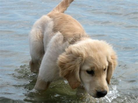 do golden retrievers swim own your weirdness for the for you something wagging this way comes