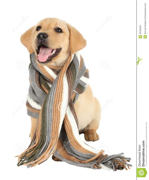 Neck Scraf Syall Limited Stock adorable puppy with scarf stock photo image 48425624