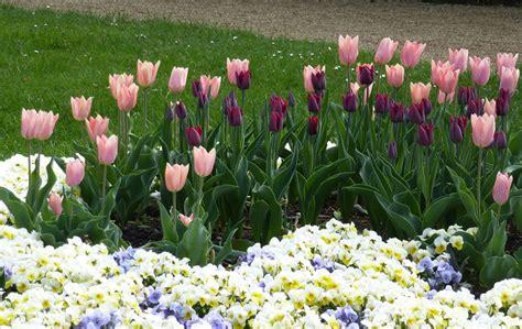 garten tulpe garten tulpe tulipa gesneriana