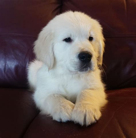 golden retriever puppies in mi golden retriever puppies for sale carson city mi 180735