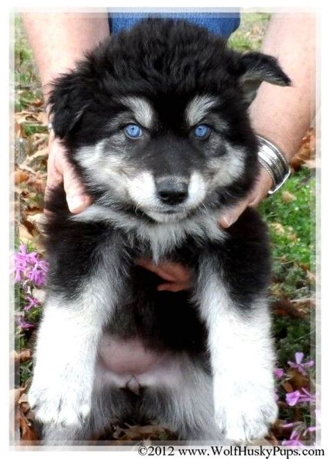 wolf hybrid puppies for sale in ohio 25 best ideas about puppies for sale on sup boards for sale baby puppies