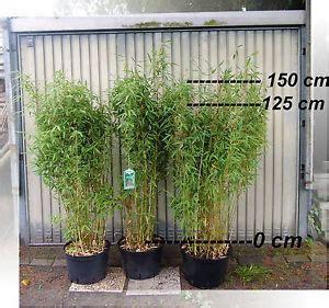garten kaufen dreieich bambus dreieich de ihr spezialist f 252 r bambuspflanzen in