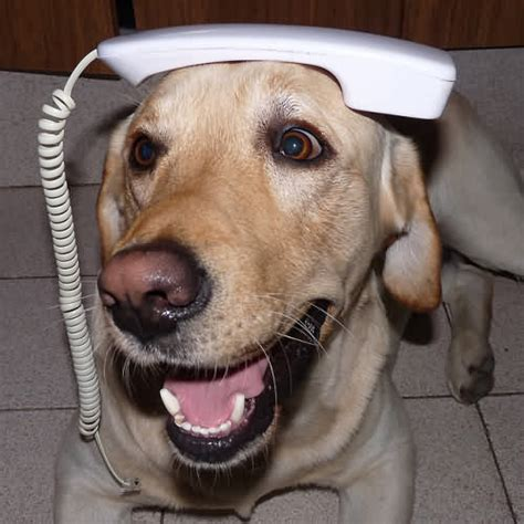 Dog Phone Meme - strangled dog saves itself by dialing emergency number for