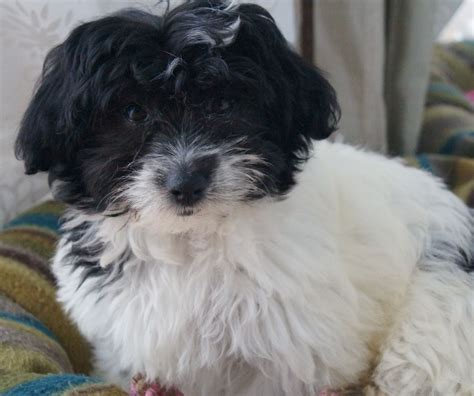 havanese breeders colorado havanese breeders havanese puppies for sale 2015 personal