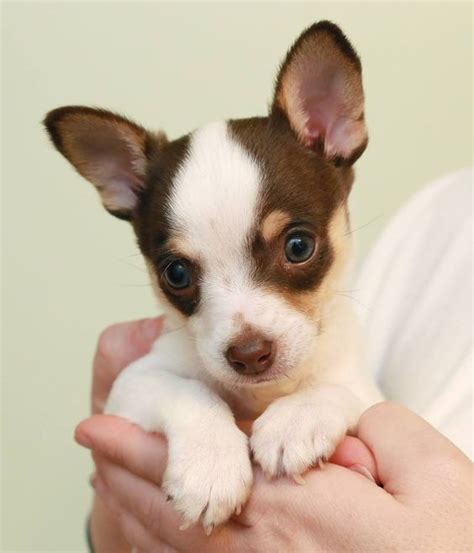chihuahua terrier mix puppies chihuahuas coloring and cutest puppy on