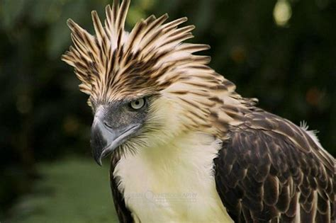 i think the philippine eagle tops all eagles dat crown