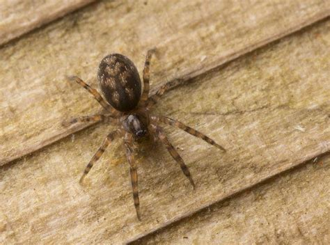 brown patterned spider the 25 best spider identification ideas on pinterest